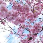 スウェーデンの桜