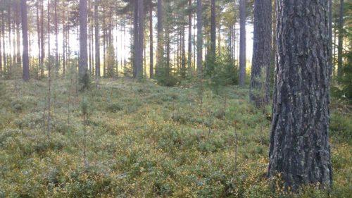 続・スウェーデンの森