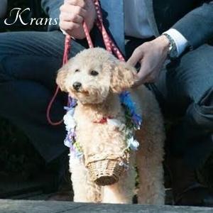 リングドック、犬用リングピロー結婚指輪を運ぶトイプードル