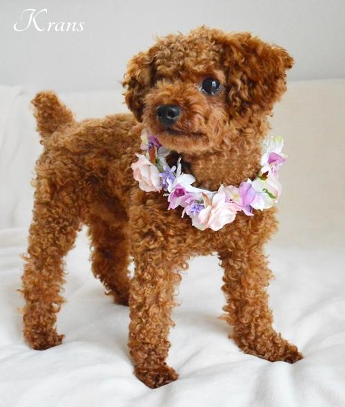 犬の花冠リングドッグ2