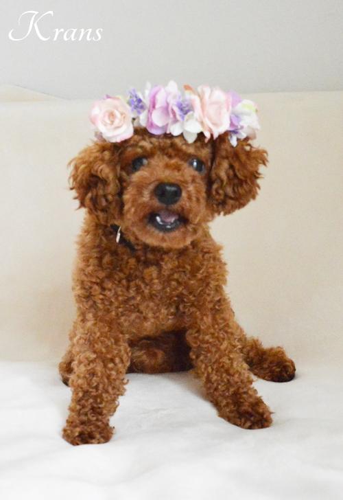 犬の花冠リングドッグ3