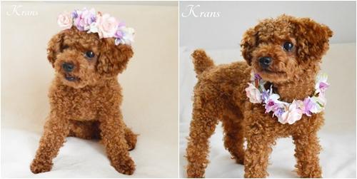 犬用の花冠リングドッグ11