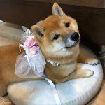 リングドッグ柴犬