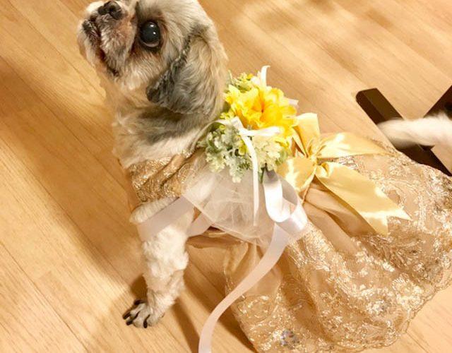 【幸せのバトン:Photo gallery】リングドッグ K様(シーズー)
