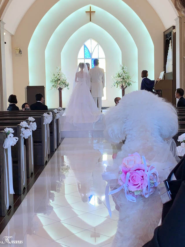リングドッグ結婚式トイプードル