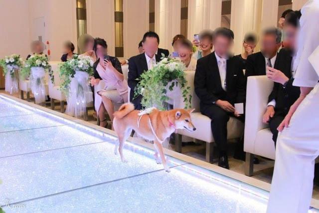 結婚式リングドッグ柴犬ちゃん2