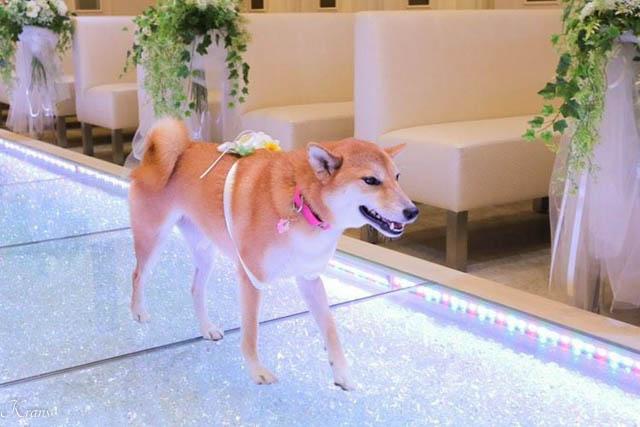 結婚式リングドッグ柴犬ちゃん4
