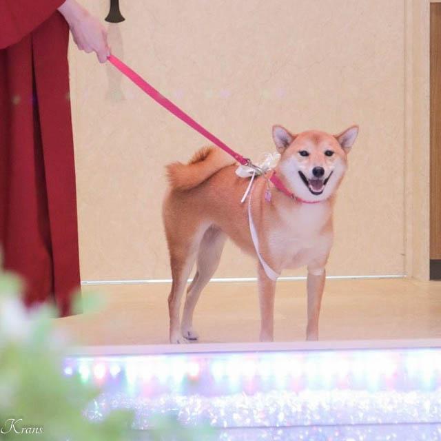結婚式リングドッグ柴犬ちゃん5