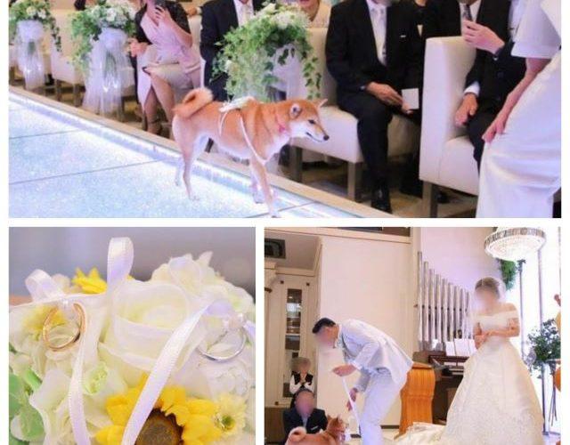 結婚式リングドッグ柴犬ちゃん1