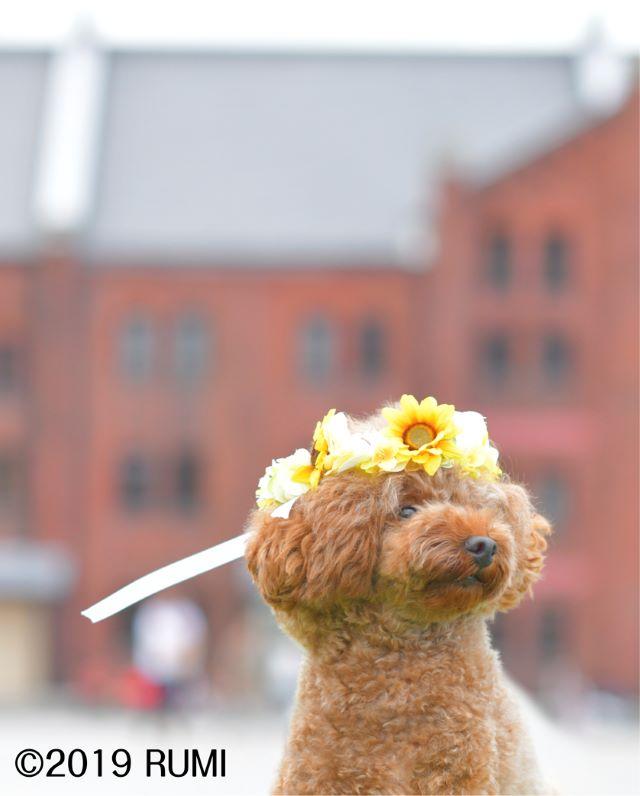 花冠犬可愛いトイプードル
