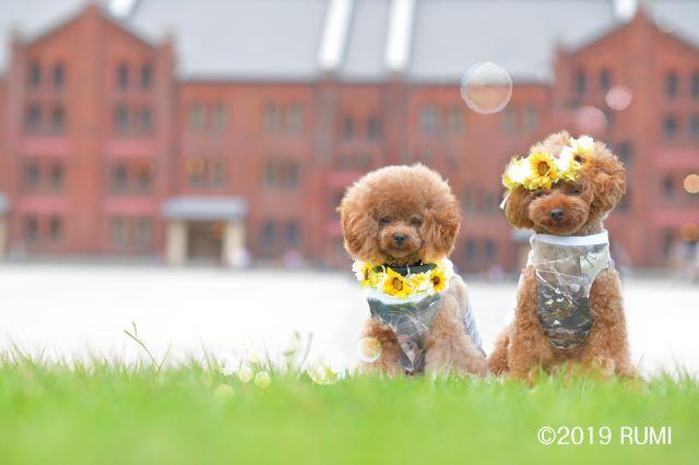 可愛いトイプードル犬用花冠1
